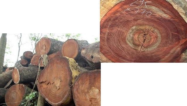 Phân biệt gỗ Hương với gỗ Xà Cừ như thế nào?