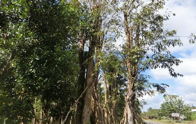 Cây gỗ Hương là gì?